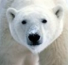 firecat: head of polar bear looking at camera (polar bear)