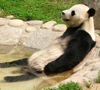 firecat: panda lying in a pond (contented panda)
