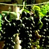 nocturnalmusings: (Grapes)