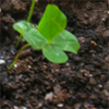 annalee: A photo of a four-leaf clover I put in a planter. (Clover)