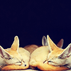 myluckyseven: Three fennecs taking a nice nap (hey man let's chill)