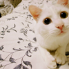 amihan: close-up image of a white cat looking up ([stock] white cat)