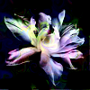 quillori: unfurling flower in retouched colours (stock: future flower, theme: the future)