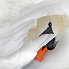 avia: A mute swan peeking out from behind a wing. (swan peeking)