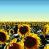 indy_go: (sunflowers)