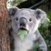 eugene_gorbunoff: (koala)