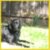 ysobel: A black lab lying down in grass, with daffodils behind him (spring)