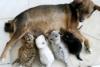 kateaw: (Bf Dog nurses tiger cubs)