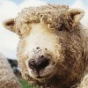 ext_73: close-up of sheep's face (knitting, sheepface)