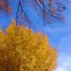 marisynos: (ginkgo tree)