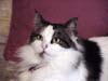 cynthia1960: picture of my cat (Snickers)