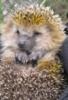 galya_verevkina: (Hedgehog)