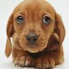 bluemeridian: (NF :: Dauschaund :: Puppy)