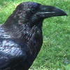crows: (face)