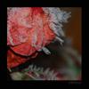 photojournal: (frozen rose)