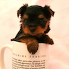 oulfis: A tiny Yorkshire Terrier puppy in a teacup. (pic#2632535)