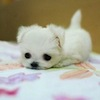 oulfis: A tiny puppy lying on a blanket. (puppy)