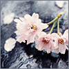 skieswideopen: Cherry blossoms on a grey background (Cherry blossoms)