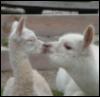 veryshortlist: (llamas: love!)