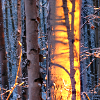 alien_laughter: a sunset-lit tree-trunk in a winter forest (Default)