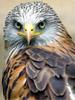 merhawk: (Red Shoulder)