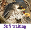 merhawk: (Still Waiting)
