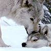 lucre_noin: Wolves at our doors (04)