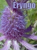 seryn: flower with text (eryngo 2)