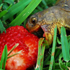 elf: Turtle with raspberry (Turtle foodie)