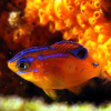 damselfish: photo by rling (damsel)