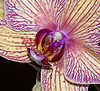 mouseworks: A crop of an orchid shot taken with a Nikon 105 macro lens (macros, orchid)