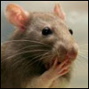 foxfirefey: A wee rat holds a paw to its mouth. Oh, the shock! (myword)