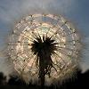 starsabove: stock icons dandelion parachute ball ([stock] dandelion)