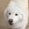 andera_em: A picture of my dog. (samoyeds, dogs, kimo)