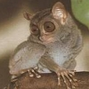 not_sinister: (sad tarsier is sad)