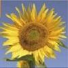 beansgerl: (Sunflower of course)