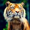 katyafeline: (Tiger - yes hello?)
