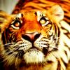 katyafeline: (Tiger - Oh brother)