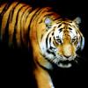 katyafeline: (Tiger - Shifted Other)