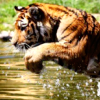 katyafeline: (Tiger - definitely a water cat)