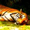katyafeline: (Tiger - naptime)