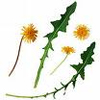 moodywho: (dandelion, dandelions)