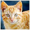 chalcopyrite: A startled-looking orange tabby kitty (animals: tiger kitten)