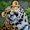 vilakins: (leopard)