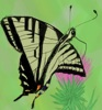 estel: (swallowtail)