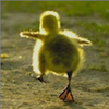 marcicatverse: (duckling)