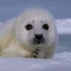 damselfish: (pensive seal)