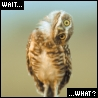 "kshandra: Small owl with its head turned 90 degrees from vertical. Text: ""Wait...what?"" (...what?)"