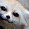 lynndyre: Fennec fox smile (writing)