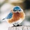 machine_dove: (Angry Bluebird)